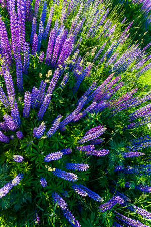 Lupin flowers in summer time. Stock Photo
