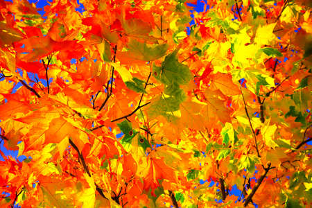 Background group autumn orange leaves. Outdoor. Autumn landscape