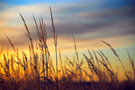 Dry grass on the background of the setting sun in a summer evening