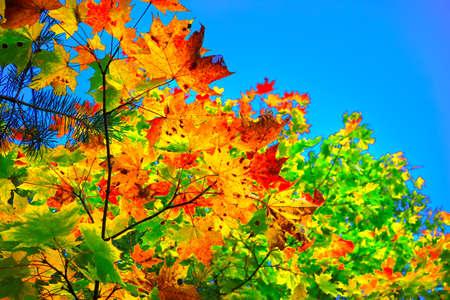 Autumn maple leaves against blue sky Stok Fotoğraf