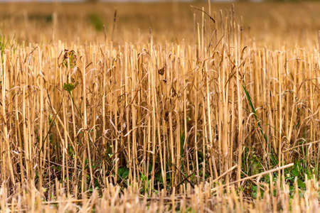 Beveling wheat stems in the field close up Stok Fotoğraf