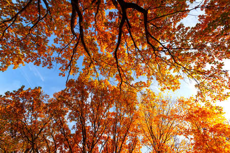 Beautiful natural autumn landscape with a view from the bottom to the trunks and tops of trees with Golden bright orange autumn foliage.