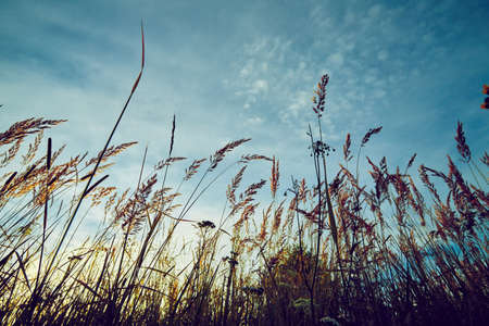 Summer grass on sunset and blue sky background