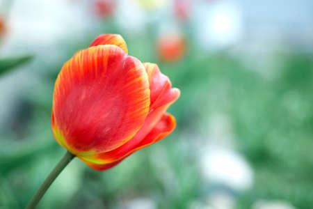 Red tulips in the garden. Summer flowers Stok Fotoğraf