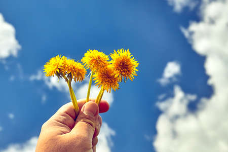 Hand holding yellow dandelions flower. Blue sky and clouds on background. Environmental concept Stok Fotoğraf