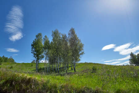 Birches grow on a hill. Sunny summer day