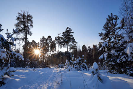 Landscape with winter forest and bright sunbeams. Sunrise, sunset in beautiful snowy forest. Winter pine forest in sunny frozen day