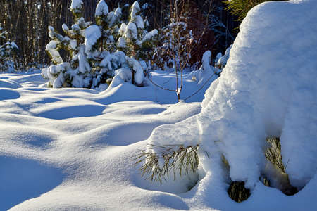 Young pines in the winter snowy forest in Russia
