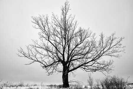 Single tree in the snowy landscape. Black and white picture Stok Fotoğraf