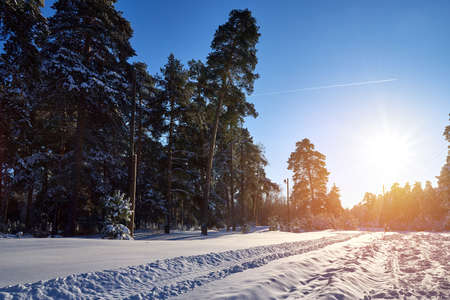 Winter pine forest in sunny day in Russia