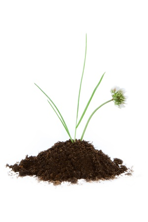 clover with grass growing in soil on white background. Stock Photo - 10985707