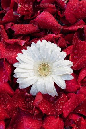 aster flower, against a background of rose petals photo