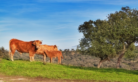 Family of cattle on a green pasture  photo