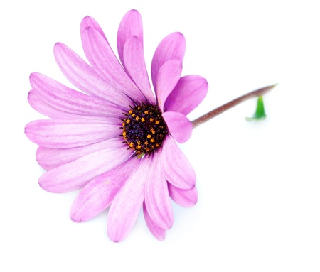 Purple flower osteospermum on a white background. photo