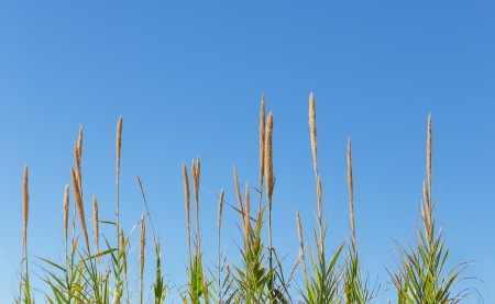 Green reeds-canes against the sky in the summer. photo