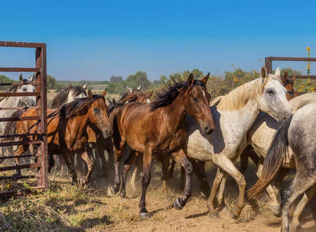 open gate: A herd of horses runs out of the corral. The movement of the open gate.