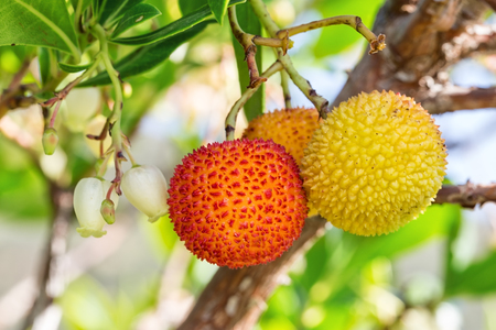 monchique: Ripe berries berries on the tree. Closeup in Portugal Monchique. Stock Photo