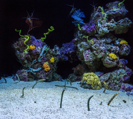 Aquarium with corals and eels. Fish protruding from sand. Stock Photo