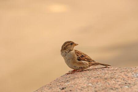 sparrow sitting on a granite stone, turning his head back Standard-Bild