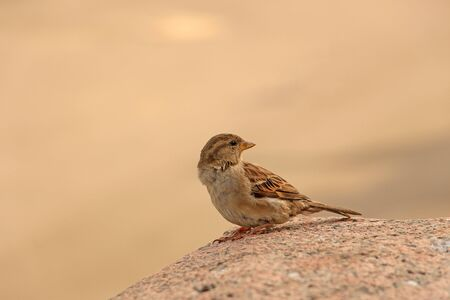 sparrow sitting on a granite stone, turning his head back Stock Photo