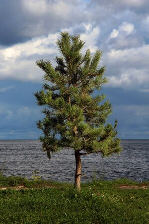 lonely young pine tree by the lake against a cloudy landscape before the storm