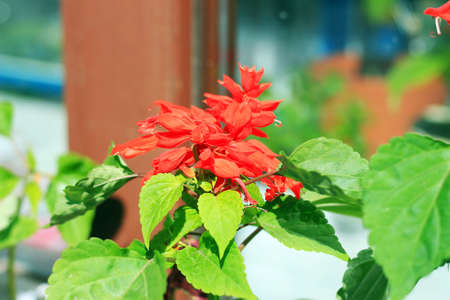 blooming red Salvia flower in a wooden box in front of the window