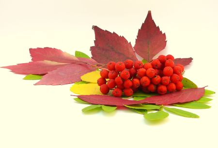 Red rowanberry with autumn leaves photo