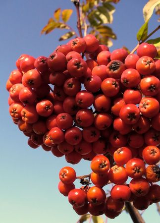 rowanberry: Red rowanberry Stock Photo