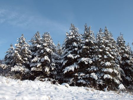 Forest with pine photo