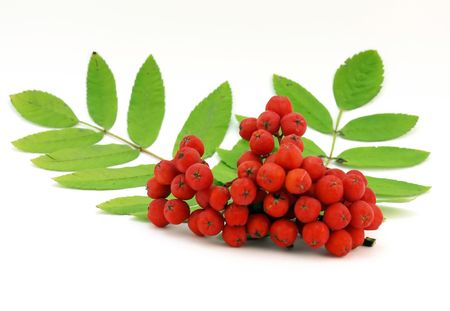 Red rowanberry Stock Photo