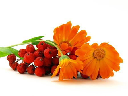 rowanberry: Red rowanberry and yellow flower
