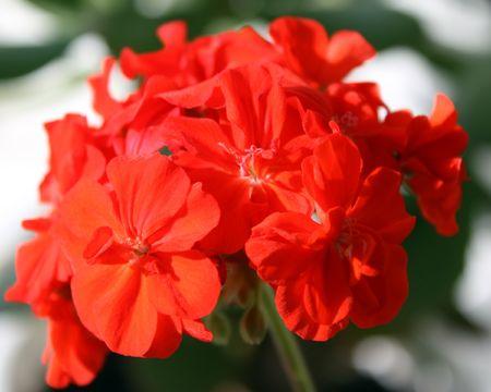 Géranium rouge Banque d'images - 6797611