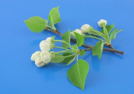 minutiae: Twig of apple-tree with flowers on blue background. Stock Photo