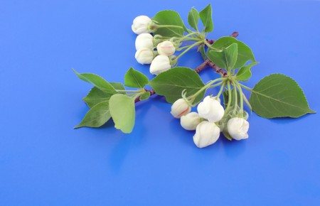 minutiae: Twig of apple-tree with flowers. Blue background.
