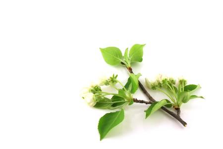 minutiae: Twig of apple-tree with flowers