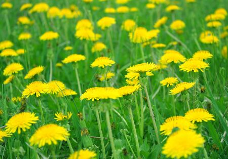 Dandelions on the field. Shallow DOF. photo