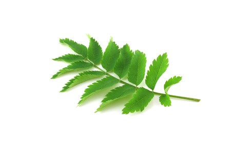 minutiae: Twig with green leaves Stock Photo