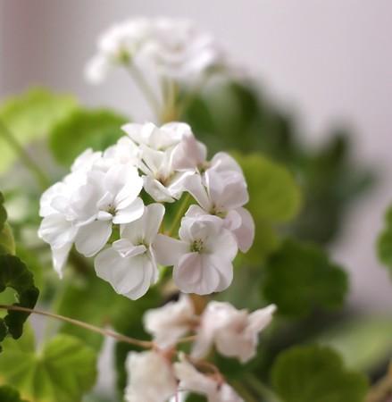 Blossom flowers (geranium). Shallow DOF.