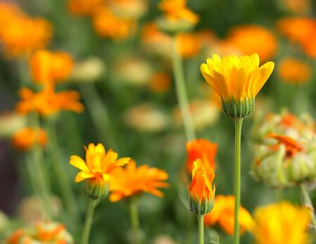 Yellow flower in garden. Shallow DOF. Stock Photo - 7380536