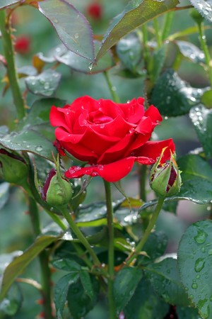 Red rose. After rain. Shallow DOF. photo