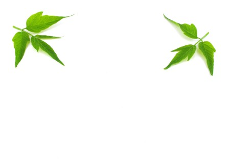 minutiae: Two twigs with green leaves Stock Photo
