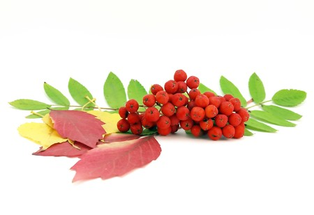 Red rowanberry and autumn leaves