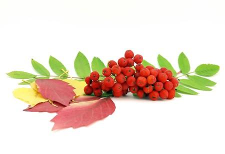 Red rowanberry en herfst bladeren