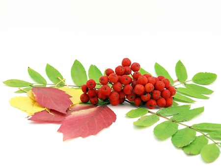 rowanberry: Red rowanberry and autumn leaves