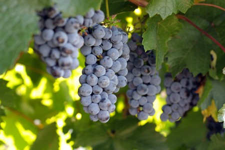 Bunches of grapes. Shallow DOF. photo