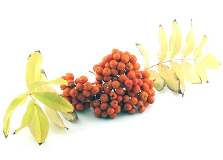 Autumn ripe rowan berry Stock Photo - 8110907