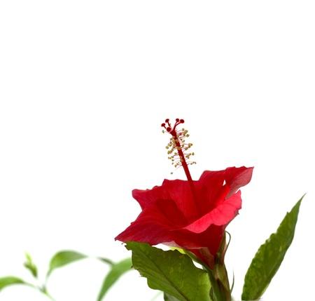 Single flower (Hibiscus) over white. Shallow DOF. Stock Photo - 8265719
