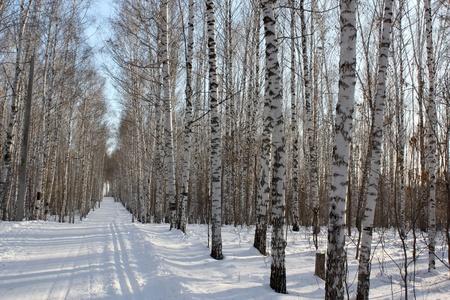 Winter birchwood Stock Photo - 8629356