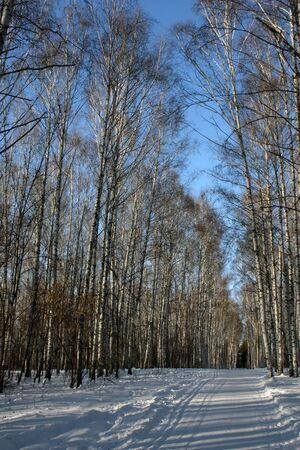 Winter birch grove Stock Photo - 8629357