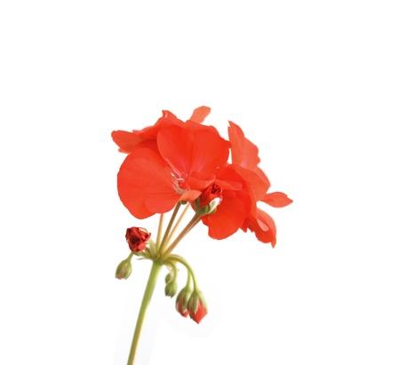 Blossom red geranium over white. Shallow DOF.
